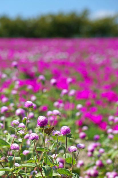 写真: 一面の花畑