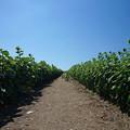 写真: ひまわり畑の道