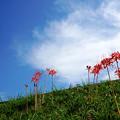 Photos: 青空と彼岸花