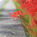 沿道を埋める花