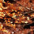 枯れかけた紅葉