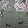冬鳥達の思い出桜