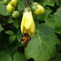 黄レンゲショウマと蜂