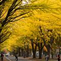 写真: 北大のイチョウ並木