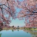 写真: 六道堤の桜