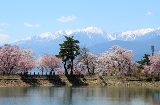 六道堤の桜と中央アルプスの山並み