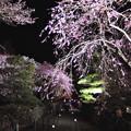 写真: 光前寺の枝垂桜#2