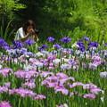 写真: 花しょうぶ#2