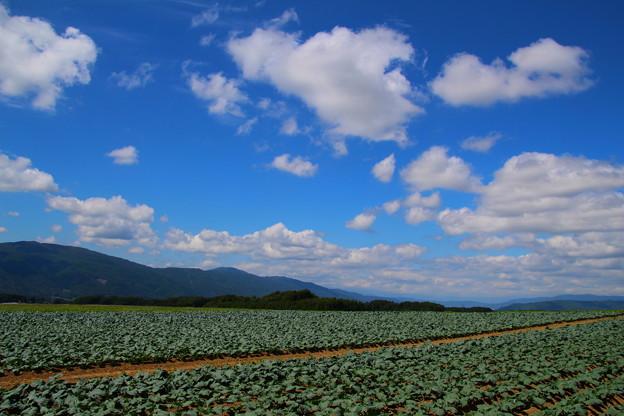Photos: 高原野菜畑