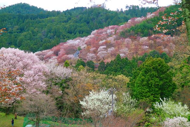 Photos: 吉野の春