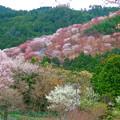 写真: 吉野の春