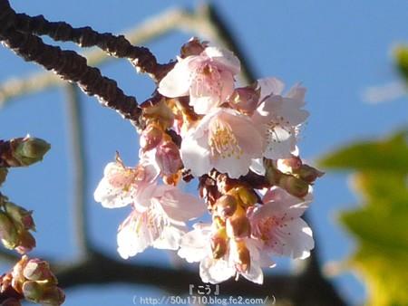 150108-久能山 桜 (6)