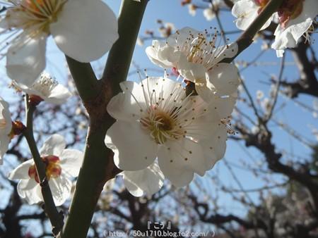 140308-大阪城梅林 (19)