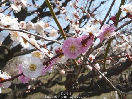 140308-大阪城梅林 (88)