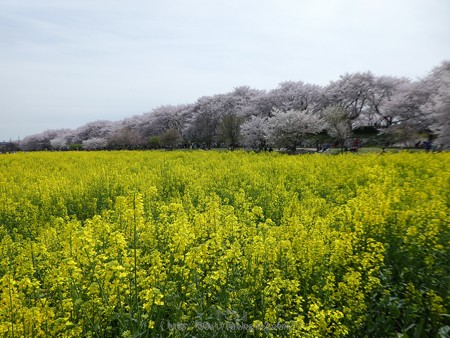 170410-権現堂堤 (64)