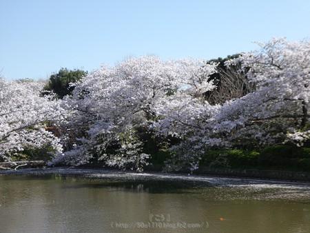 170413-鶴岡八幡宮 (48)