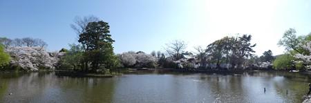 170413-鶴岡八幡宮 パノ