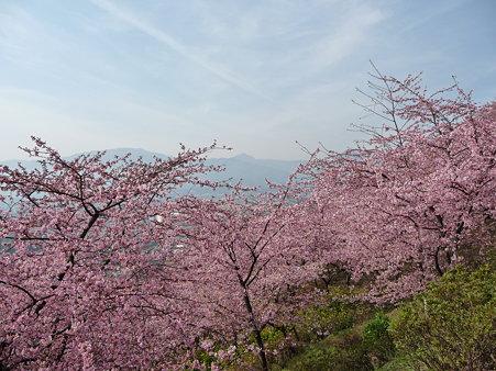 100223-松田山 河津桜 (48)