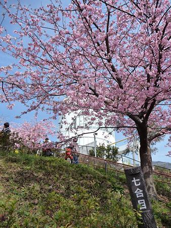 100223-松田山 河津桜 (54)