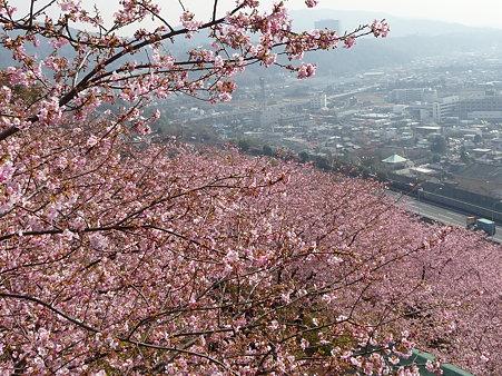 100223-松田山 河津桜 (90)