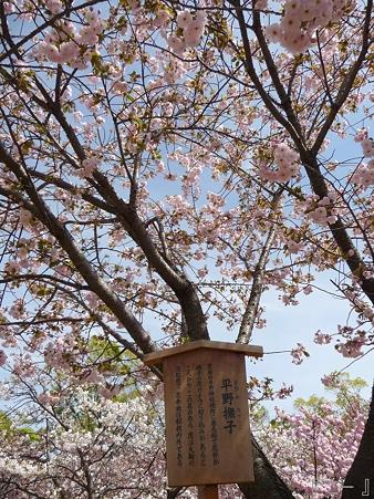 110417-造幣局 桜の通り抜け (20)