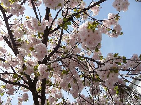 110417-造幣局 桜の通り抜け (44)