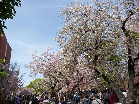 110417-造幣局 桜の通り抜け (75)
