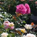 Photos: 屋上のバラ見ごろ