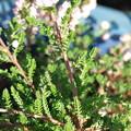 カルーナブルガリス葉