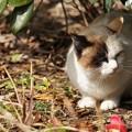 木陰の猫@城ケ島