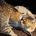 ガンを飛ばしあう猫@城ケ島