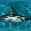 Photos: 泳ぐペンギン