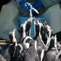 写真: 殺到するケープペンギン