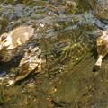 潜水するカルガモ雛