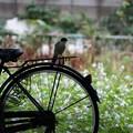 自転車に乗るオナガ