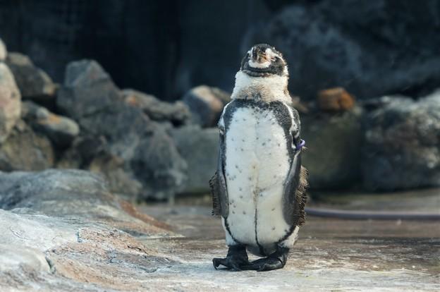 直立不動なペンギン