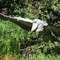 飛ぶハシビロコウ
