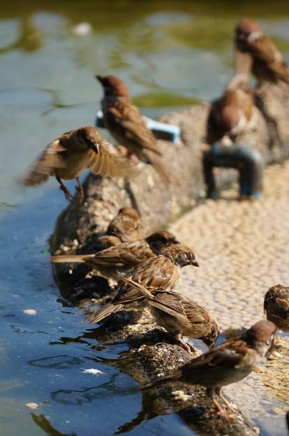 写真: 集まるスズメ