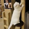 爪とぎ白猫