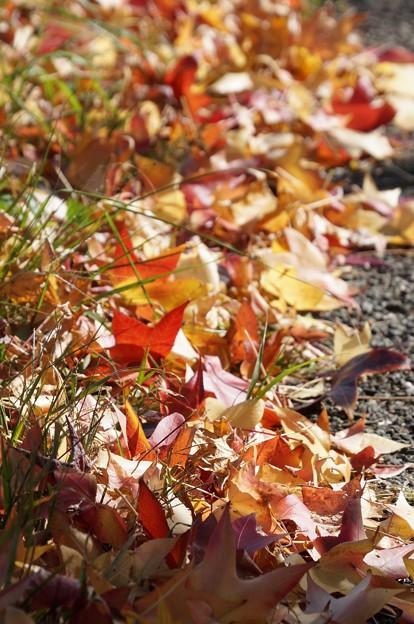 写真: 落ち葉の絨毯