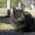 香箱座りの猫2