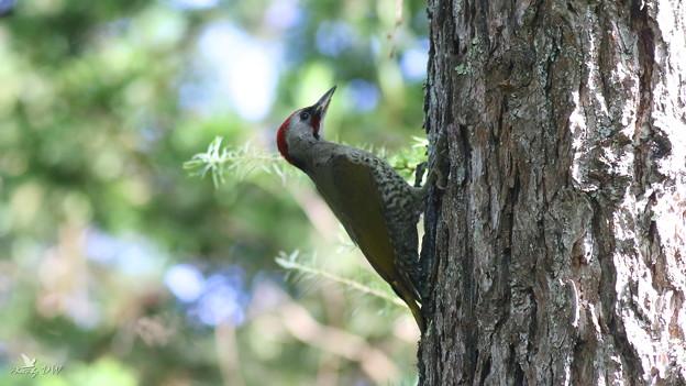 日本?啄木(Japanese Green Woodpecker)