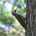 写真: 日本?啄木(Japanese Green Woodpecker)