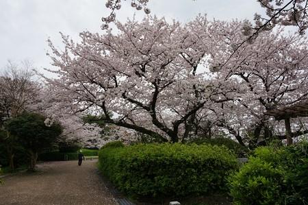 2017年4月9日 西公園 桜 福岡 さくら 写真 (14)