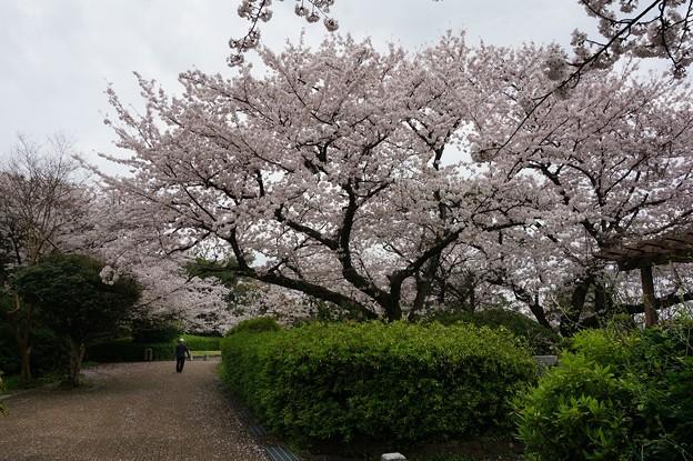 写真: 2017年4月9日 西公園 桜 福岡 さくら 写真 (14)