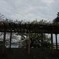 写真: 2017年4月9日 西公園 桜 福岡 さくら 写真 (18)