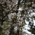 写真: 2017年4月9日 西公園 桜 福岡 さくら 写真 (33)