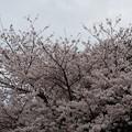 写真: 2017年4月9日 西公園 桜 福岡 さくら 写真 (49)
