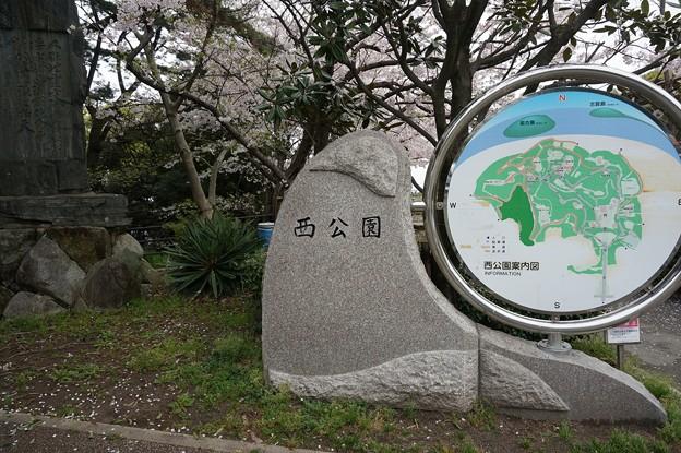 写真: 2017年4月9日 西公園 桜 福岡 さくら 写真 (57)