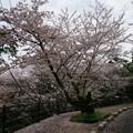写真: 2017年4月9日 西公園 桜 福岡 さくら 写真 (65)